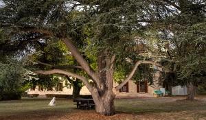 Et si le cèdre de Montesson était le plus bel arbre de France ?