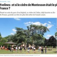 Yvelines : et si le cèdre de Montesson était le plus bel arbre de France ?